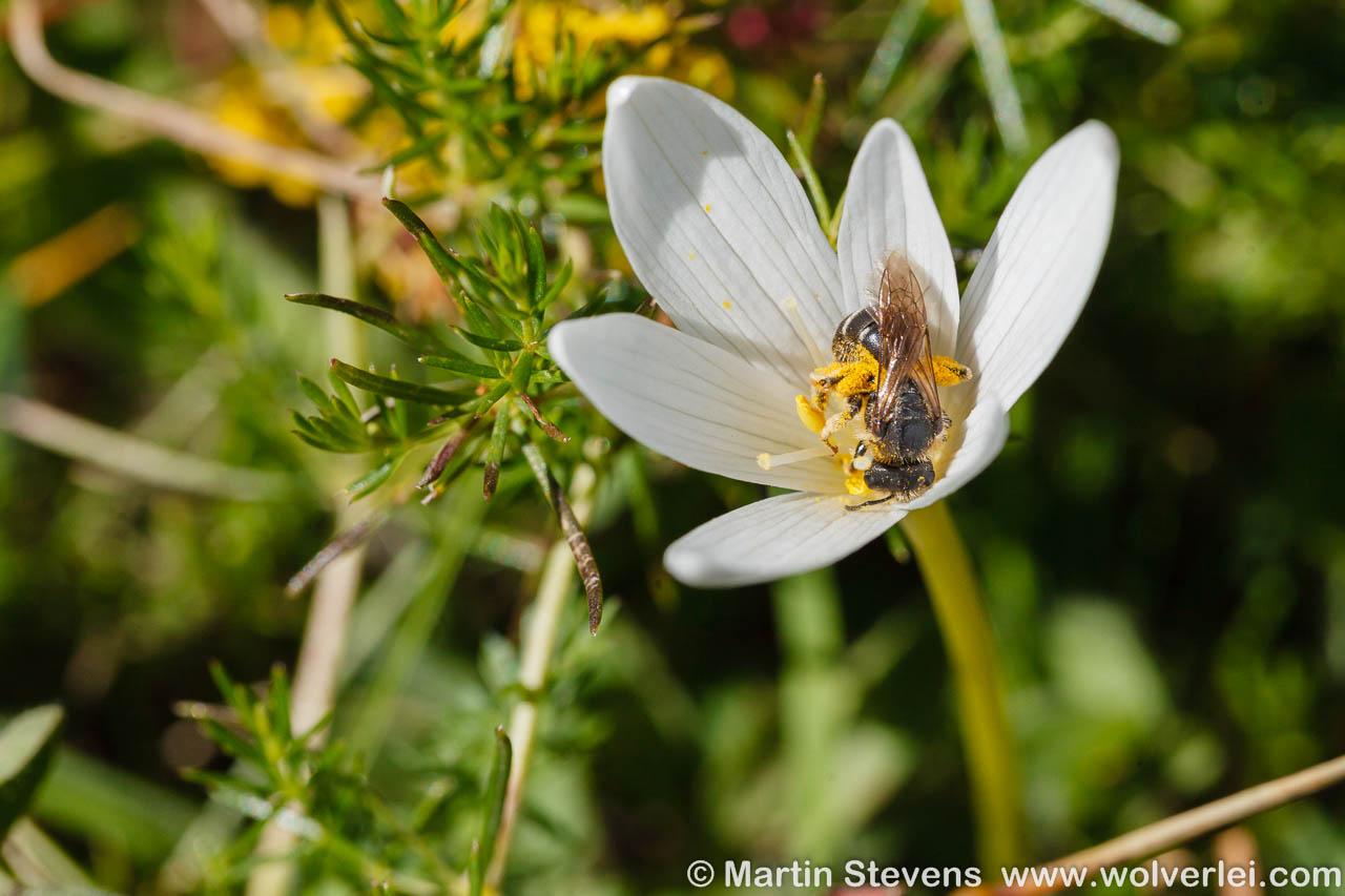 Alpentijloos, Colchicum alpinum