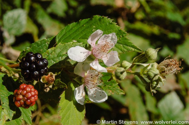 Gewone braam, Rubus fruticosus
