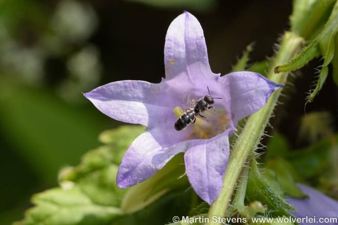 Chelostoma rapunculi, Grote klokjesbij